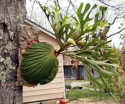 (staghorn fern) Platycerium Ridleyi Large Form   you can buy a Platyceycerium ridleyi at www.platyceriumferns.com