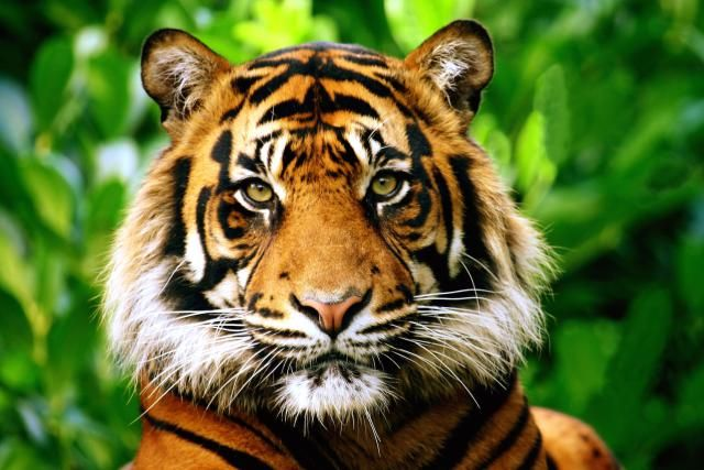 2016 Chinese Zodiac Signs Good Luck Tips: Tiger Zodiac Sign in 2016