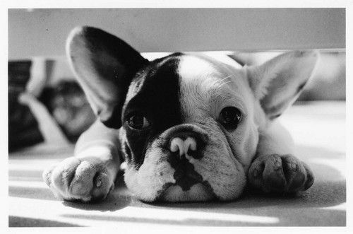 ... , Black White, Dogs Lovers, Baby Dogs, Frenchie, Bulldogs I, Animal