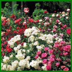 Rosenbeet im Sommer mit frostharten Rosensorten.  Pflanzen Sie Rosen in verschiedenen Farben und Größen in das Rosenbeet, und Sie können sich den ganzen Sommer an einem wunderbaren Blütenmeer erfreuen  http://www.gartenschlumpf.de/rosenbeet/