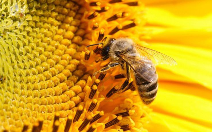 L'ape è un insetto imenottero che si nutre di polline e nettare dei fiori. Le api vivono in società permanenti dentro il cavo d'un albero, o (allo stato