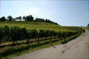 Our vineyard Palazzo #franciacorta #wine #vino