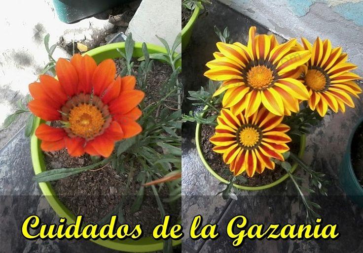 Conoce a la gazania, una planta de hermosas flores similares a las margaritas | Plantas