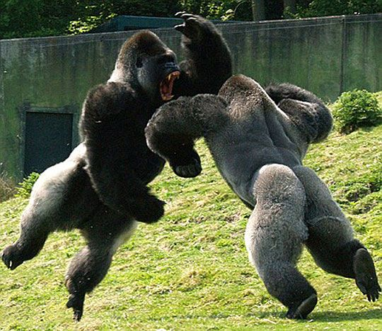 Pictured: Gorilla warfare in deepest Kent as snapper captures battle of zoo…
