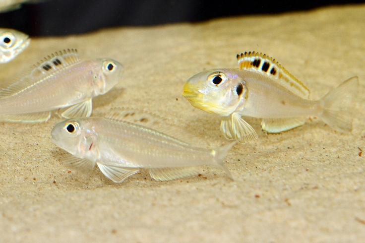 Tanganyikan Community: cyprichromis, lamprologus (including shell dwellers), featherfins (ophthalmotilapia, cyathopharynx), Cyphotilapia (frontosa), Julidochromis, Petrochromis