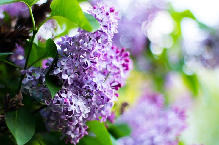 Lilacs - Lilac flowers on a sunny spring afternoon.