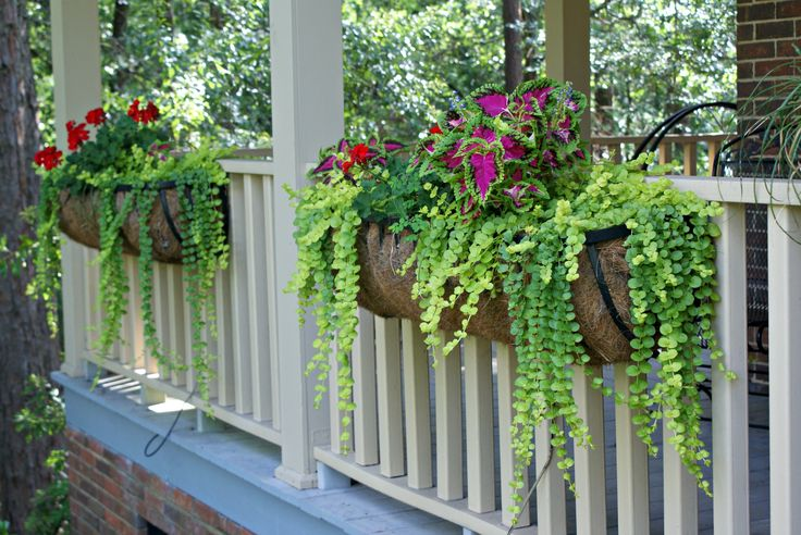 Coleus & creeping jenny window boxes.