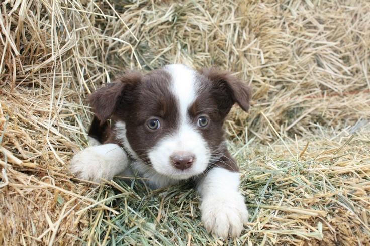 mini australian shepherd/corgi mix