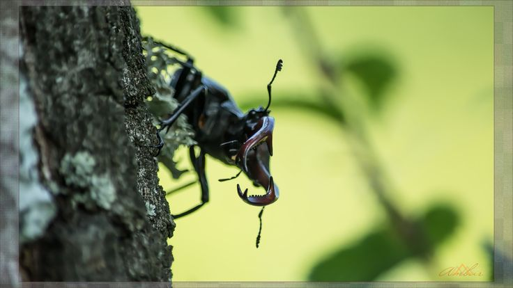 Stag Beetle by Ambar Elementals on 500px