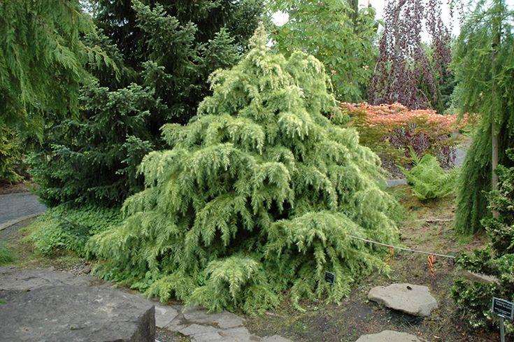 Silver Mist Deodar Cedar (Cedrus deodara 'Silver Mist') at GardenWorks