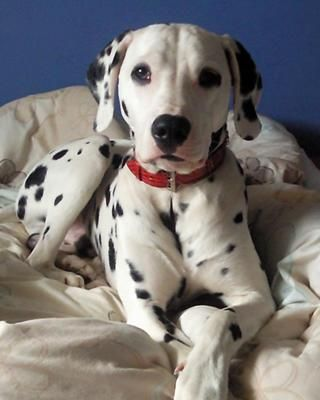 POSING FOR THE CAMERA: We got Ozzy as a puppy from a breeder in Glasgow. He is now 2 and we have had the best 2 years together.   Ozzy is typical of the Dalmatian breed - hyperactive