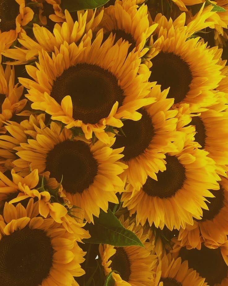 Sunflower Wallpaper Backgrounds Aesthetic