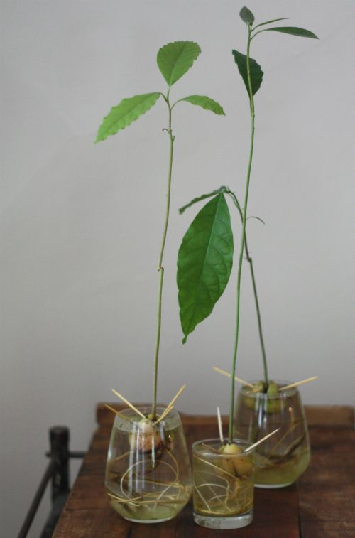 Progress report growing avocados from the pit 17 apart for How do you grow an avocado seed