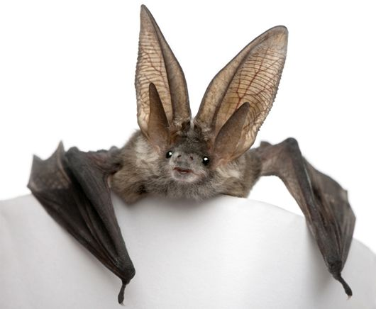 Long-eared bat - bats have such a bad rap, not to mention they're soo dang cute!!
