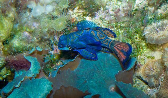 7 datos curiosos sobre el sorprendente pez mandarin 2
