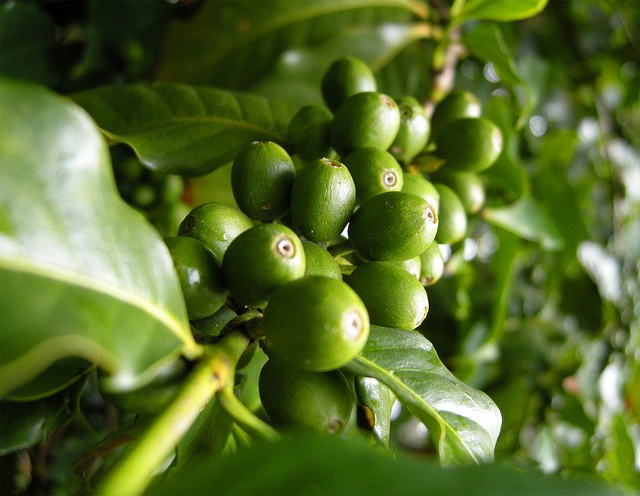 Buy Green Coffee Bean Pills or Not http://green-coffee-800.com/