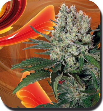 Syrup - Feminised Cannabis Seeds