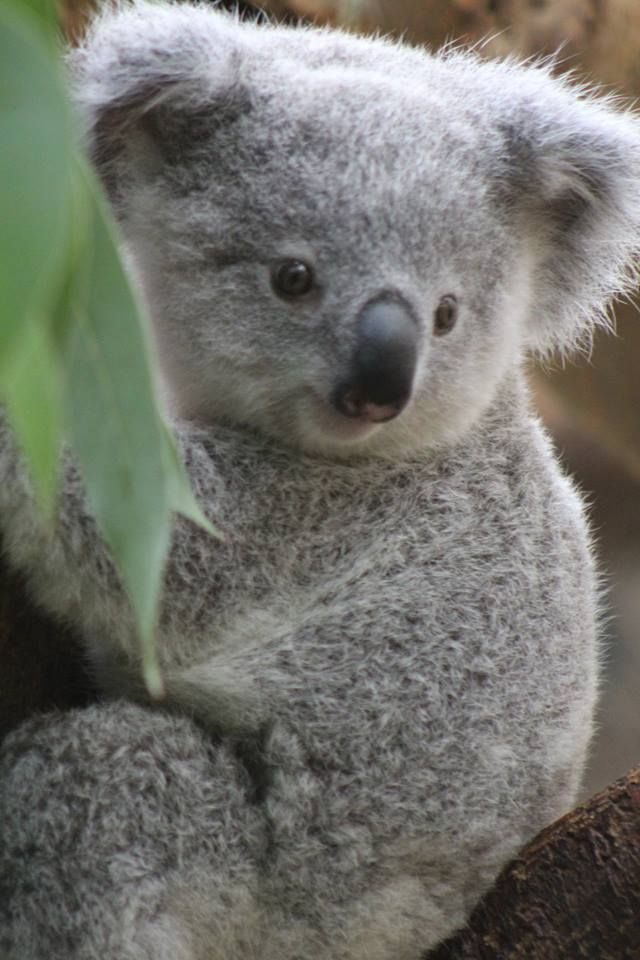 17 Baby Koala Picture Cute Baby Animals Cute Animals Koala