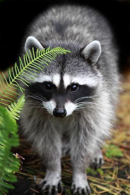 Cute Raccoon by namra38 (Arman Werth) on Flckr  #animals