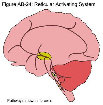 Fig. AB-24: Sistema de Activación Reticular