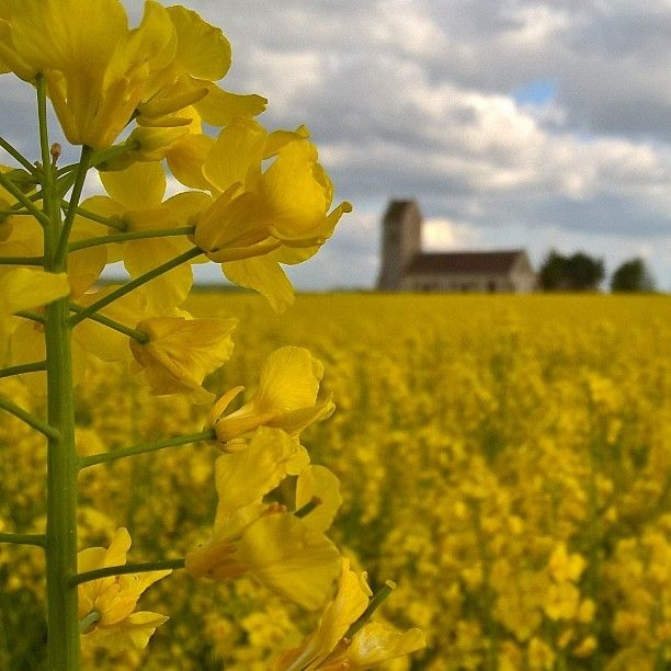#Cauvicourt #Normandy #Yellow #Fields #Country #Canola #France #French #Countryside  Day29: Went on a lovely walk this afternoon through the surrounding countryside. Small villages, country churches and the pleasant company of les deux chiens et deux femmes.