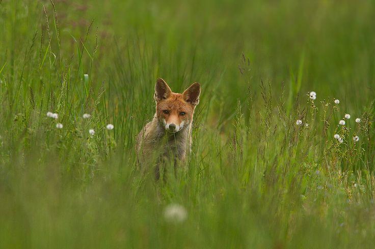 Hoe meer je in de Biesbosch komt, hoe meer kans je krijgt dat je dit kan fotograferen. Een vos kom je niet elke dag tegen in de Biesbosch.