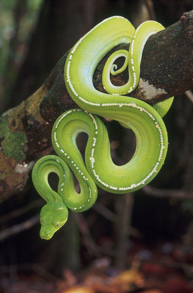 Green python,Australia                                                                                                                                                      Mehr