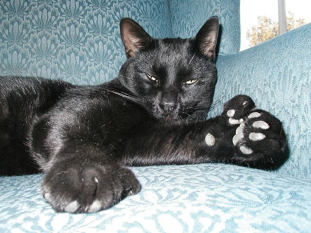 Polydactyl  Cats | Polydactyl Cat- Bruce! | Flickr - Photo Sharing!