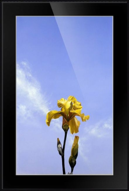 """""""Yellow Iris"""" by Matthew Bates, Firenze, Italy // Every year in Florence there is an Iris show. It is below Piazzale Michelangelo, and it is spectacular! The Iris is the symbol of Florence and Florentines take great pride in their symbol. I took the original photos for this painting at the Iris show. Now you can enjoy this ... // Imagekind.com -- Buy stunning fine art prints, framed prints and canvas prints directly from independent working artists and photographers."""