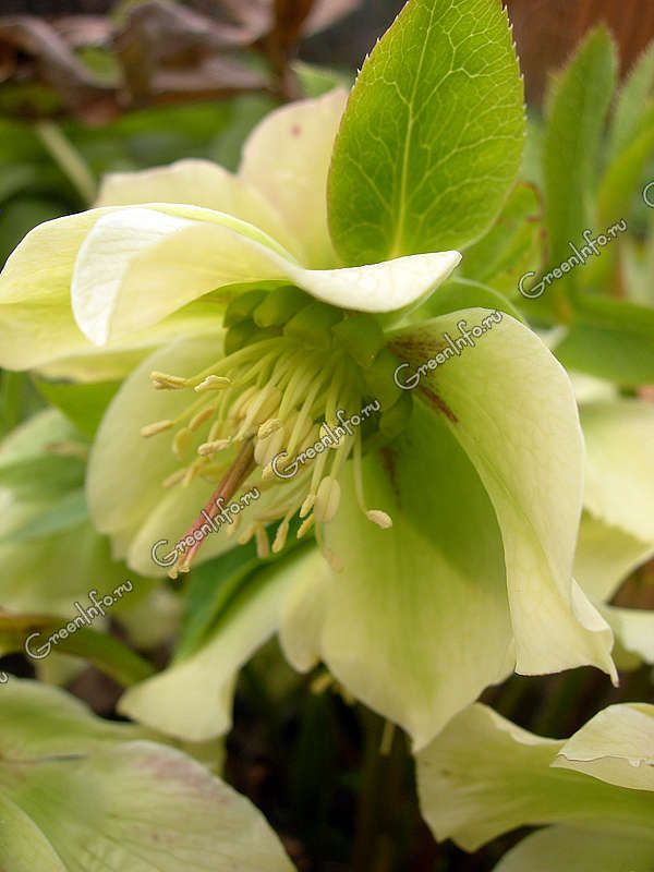 Морозник - Срезанные цветы - Срезка - GreenInfo.ru