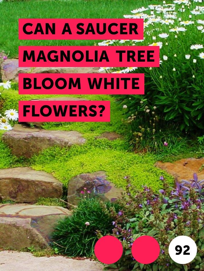 Can A Saucer Magnolia Tree Bloom White Flowers Saucer Magnolia
