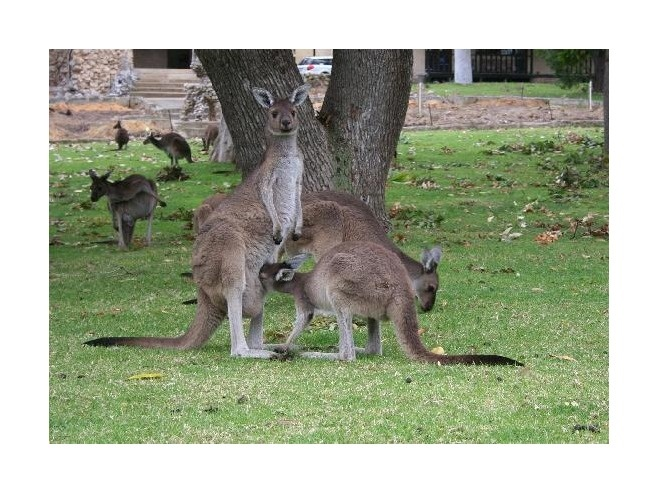 Experience a true Aussie environment at Yanchep National Park and enjoy Australian flora and fauna including kangaroos and koalas! #celebratewa