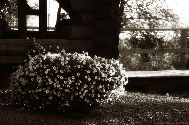 Murajan Kastehelmen pihassa  petunia White Table kesällä 2014 murajantila.blogspot.com