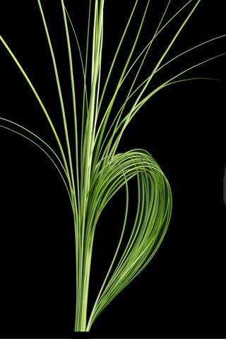 Stålgress Steelgras, Xerophyllum tenax, Melanthiaceae Myrliljefamilien, SNITT