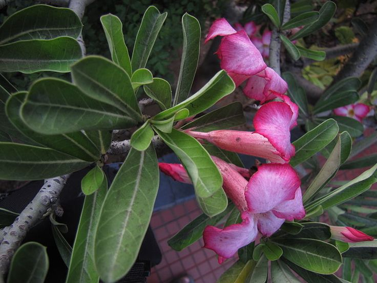 desert rose houseplants are a type of caudiciform or fat plant with large