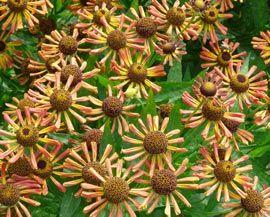 Helenium Hybride 'Loysder Wieck' - Sonnenbraut