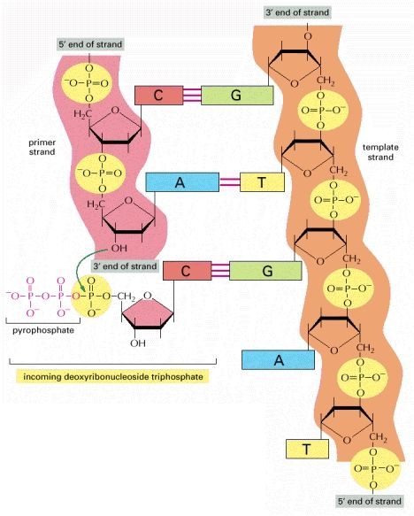 Figure 5-3, The chemistry of DNA synthesis - Molecular Biology of the Cell - NCBI Bookshelf