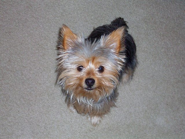 What Is The Best Dog Food For A Chorkie