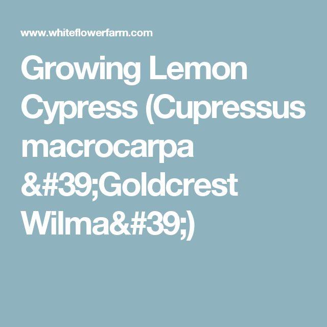 Growing Lemon Cypress (Cupressus macrocarpa 'Goldcrest Wilma')