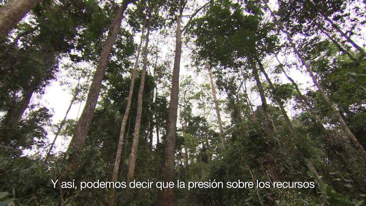 Los bosques para la seguridad alimentaria y nutricional - Los bosques proporcionan alimentos nutritivos a aproximadamente mil millones de personas en el mundo. Sus productos son consumidos directamente por las personas que viven en los bosques y en sus alrededores y también se venden, generando así ingresos para las poblaciones rurales. De esta manera, los bosques y los árboles en las explotaciones agrícolas realizan una importante contribución a la seguridad alimentaria mundial. Duración…