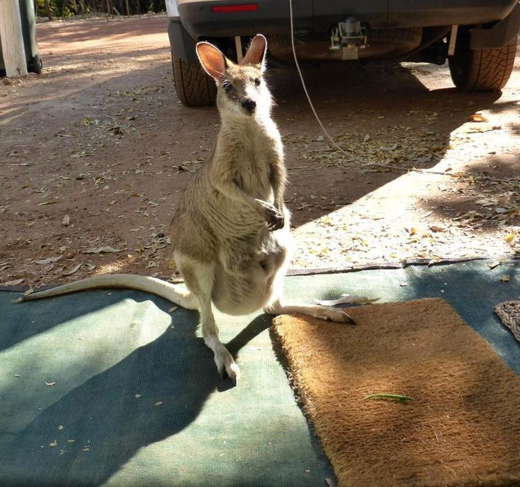 We made a new friend at the Mataranka Homestead Caravan Park in the NT.  For more good stuff on what Australia has to offer visit http://ift.tt/2kyh2Yo  #matarankahomesteadcaravanpark #mataranka #nt #wallaby #caravan #touring #beautiful #friends #outdoors #outback
