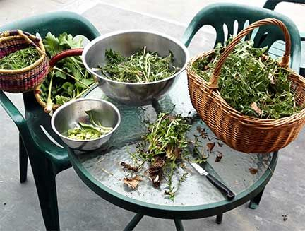 Safe and ethical foraging. Advice by Laurie Constantino.