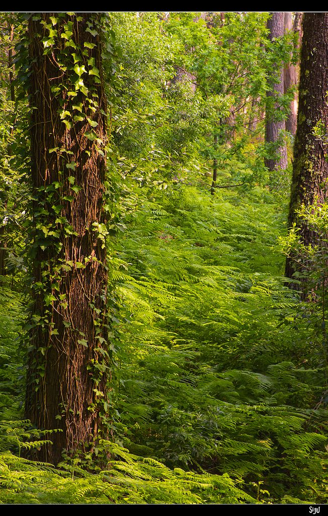 Lost in the Forest - on one of Cies Islands, an archipelago off the coast of Pontevedra in Galicia - Islas Atlánticas National Park,