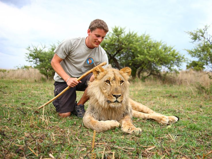 Zimbabwe Lion Rehab and Release into the Wild Program. Learn More: http://www.africanimpact.com/volunteer-projects/zimbabwe/hands-on-lion-rehabilitation-antelope-park/overview/