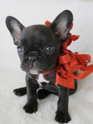 top 25 best black french bulldogs ideas on pinterest. Black Bedroom Furniture Sets. Home Design Ideas