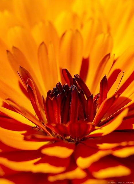 Orange Petals by DsquaredUK, via Flickr | #warmcolors #yellow #orange