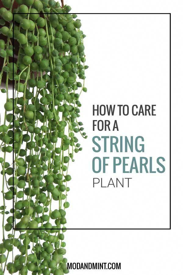 How To Care For And Propagate A String Of Pearls Plant Learn More At Modandmint Stringofpearls Succulents Plantcare Landscaping