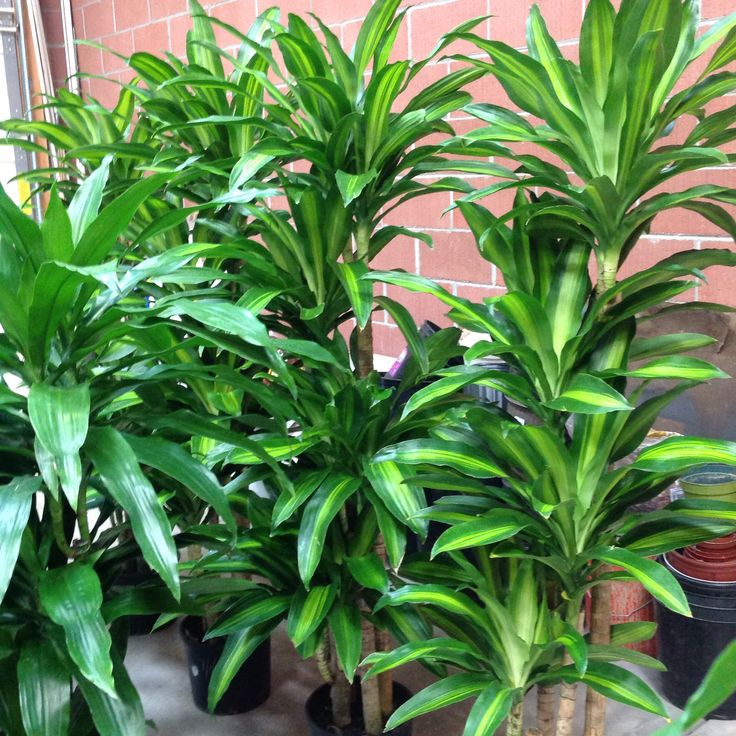 Dracaena Janet Craig And Massangeana Perfect Indoor Plants For Your Office  U0026 Home!
