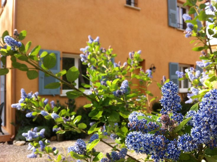 We have the most remarkable blue flowering shrub in the garden at Lou Messugo.  It's in full bloom and in its prime right now.  I just had to share it with you.  It's certainly one of the most successful things we've planted here.  It's name is Céanothe in French and Trewithen Blue in English.       Four year...
