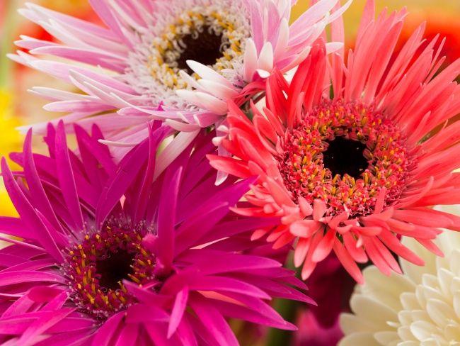 Farbenfrohe Gerbera #tollwasblumenmachen #flower #gerbera #blume